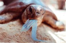 schildpad eet plastic